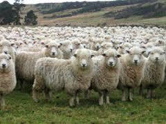 herd mind